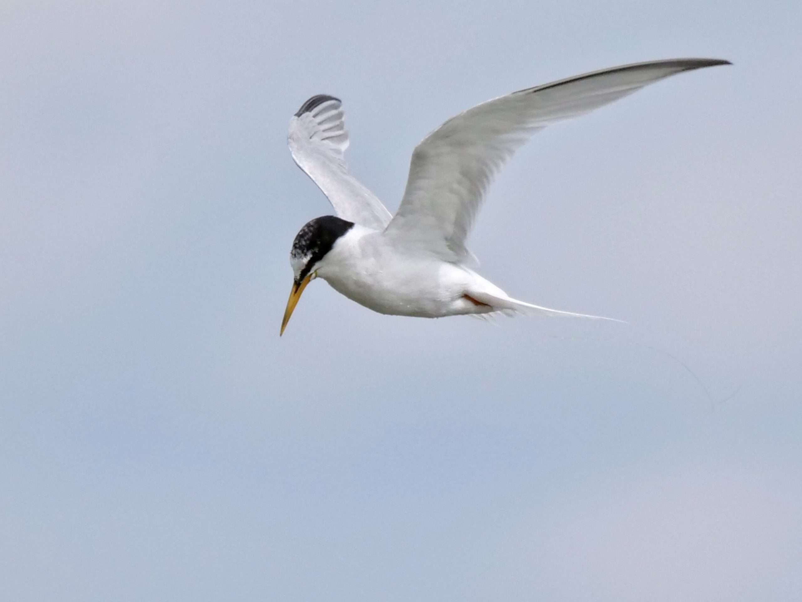 Little Tern by Rob Porter-July 29th, Oxey Creek