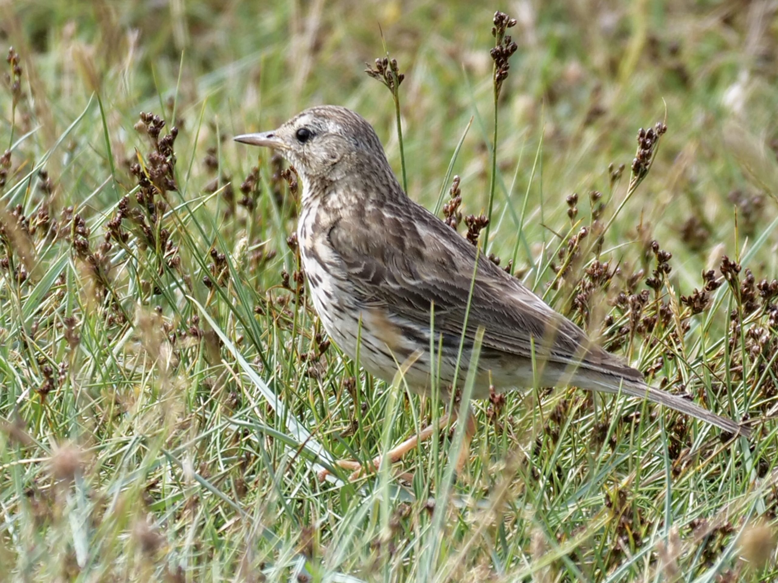 Meadow Pipit by Rob Porter-July 29th, Oxey Marsh