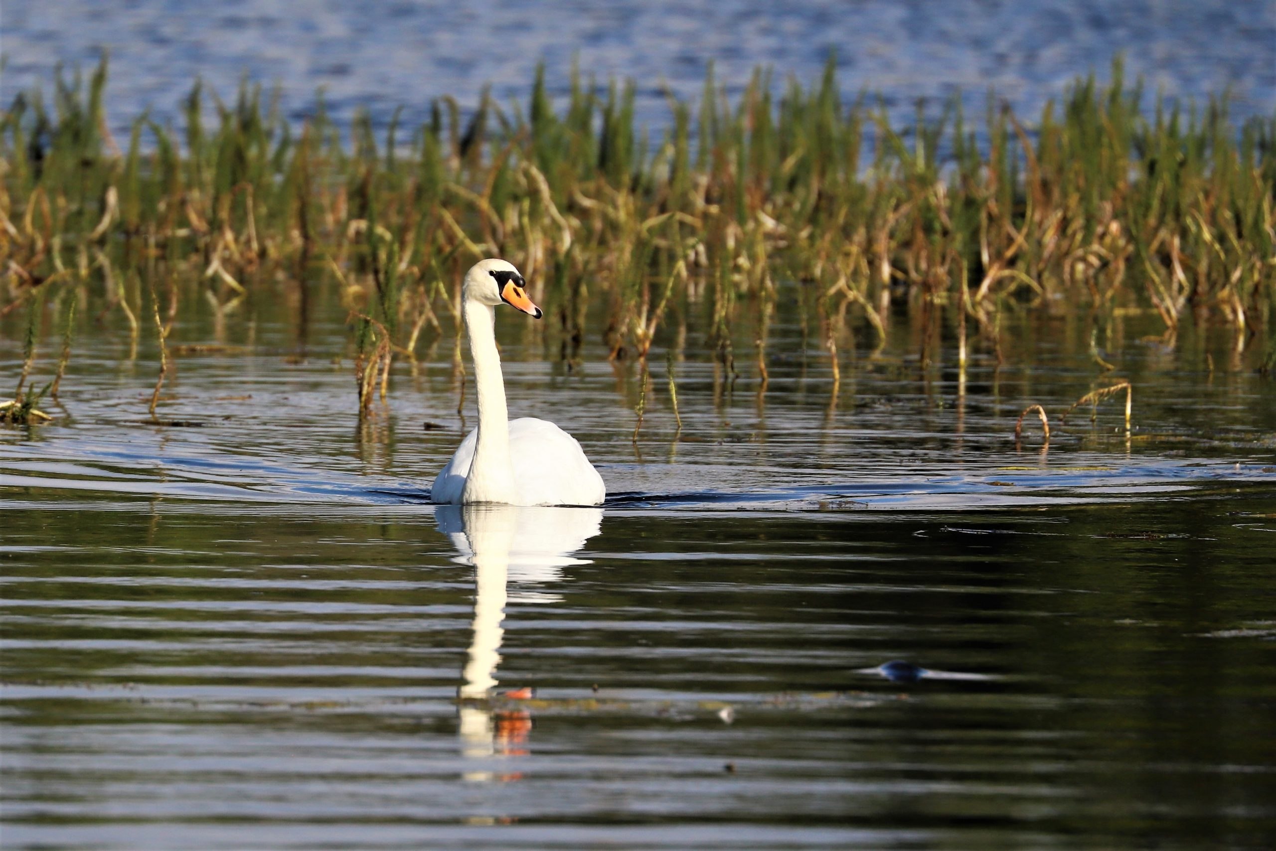 Mute Swan by Brian Cartwright 29th July Aton Lake