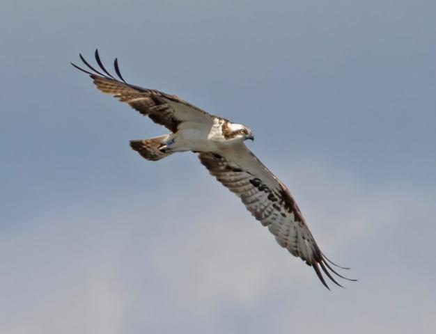 Osprey 12June21@Fishlake by Steve Payce