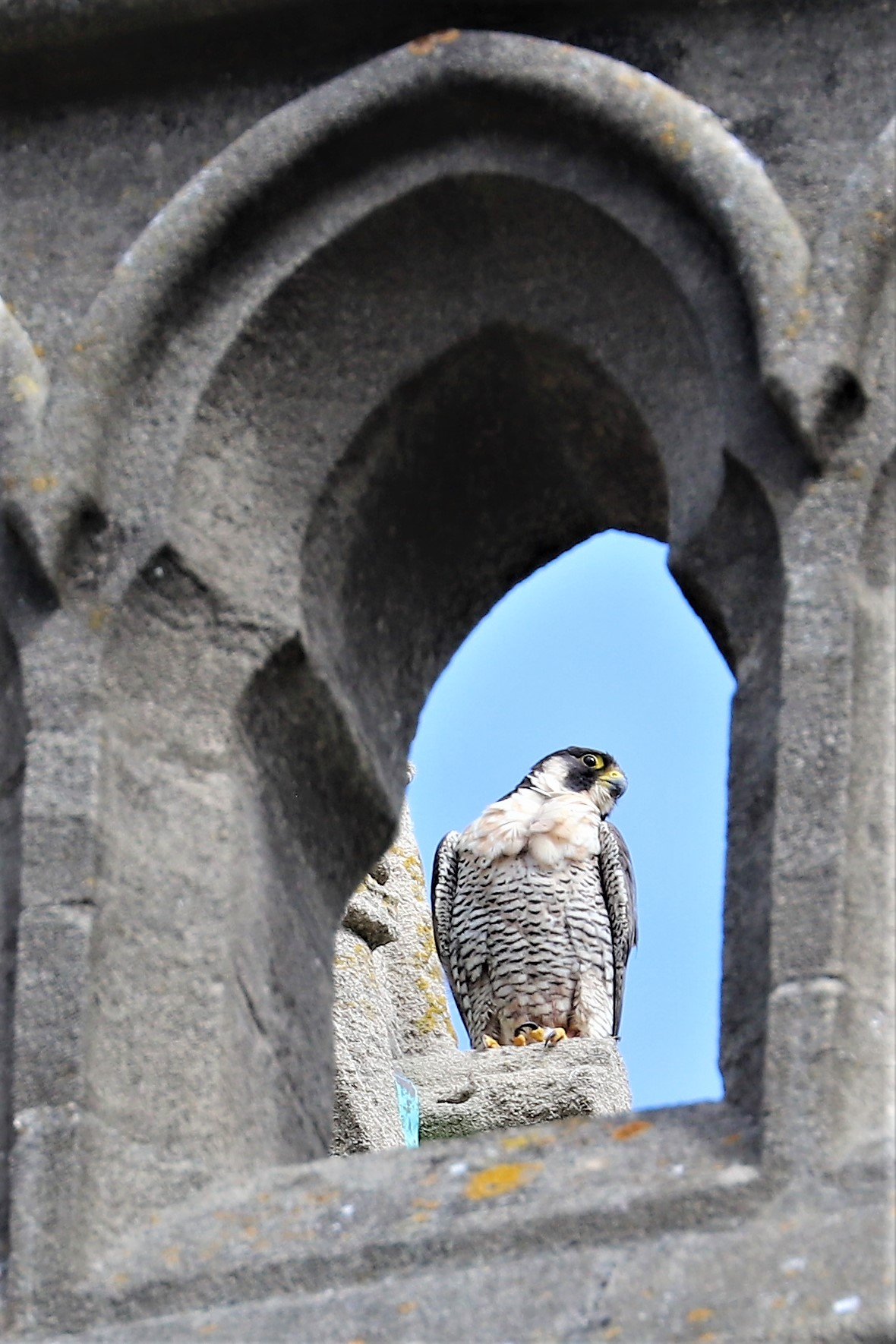Peregrine Falcon by Brian Cartwright 28th July Andover