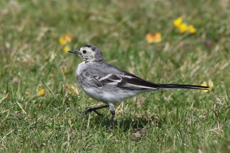 Pied Wagtail Pennington 11th Aug Andy Tew.