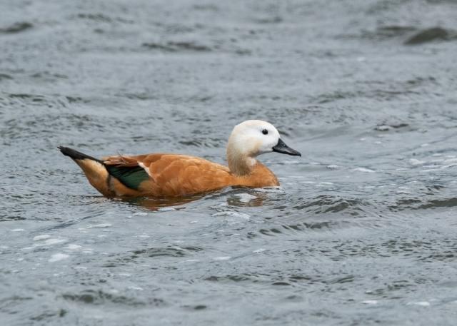 Ruddy Shelduck by Gareth Rees - 28th July, Blashford Lakes-2