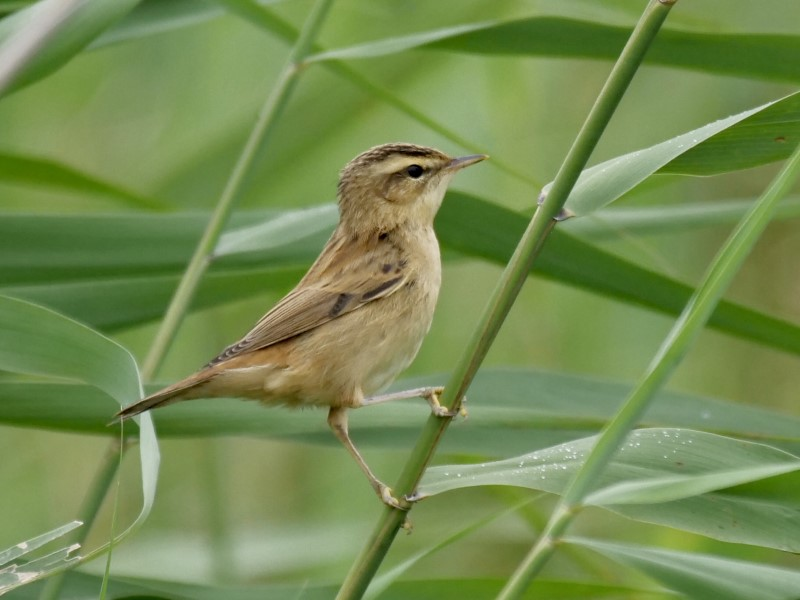 Sedge Warbler by Rob Porter-August 12th, Lower Test Marshes