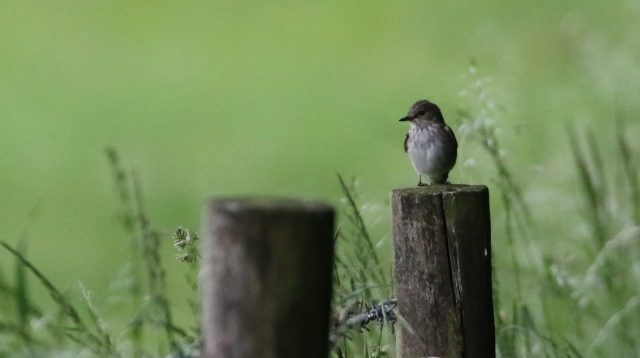 Spotted Flycatcher - Martin Down 19th June Chris Rose