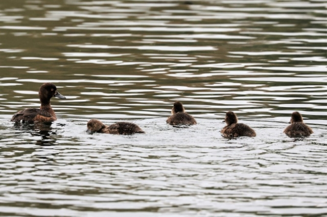 Tufted Duck by Brian Cartwright 14th Aug Anton lake
