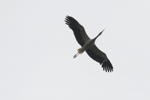 White_Stork_Locks_Heath_13-07-21_BobMarchant