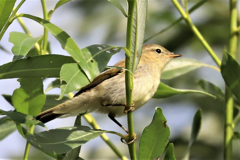Willow Warbler by Brian Cartwright 3rd Aug Anton Lake