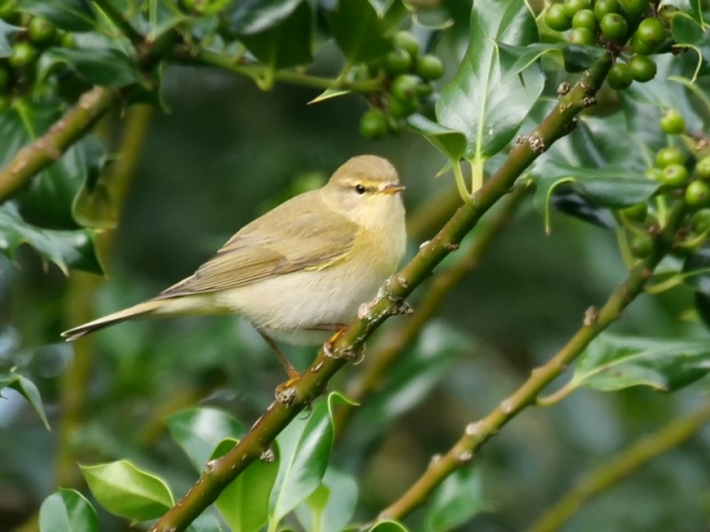Willow Warbler by Rob Porter - Aug 14th, Pig Bush, NF