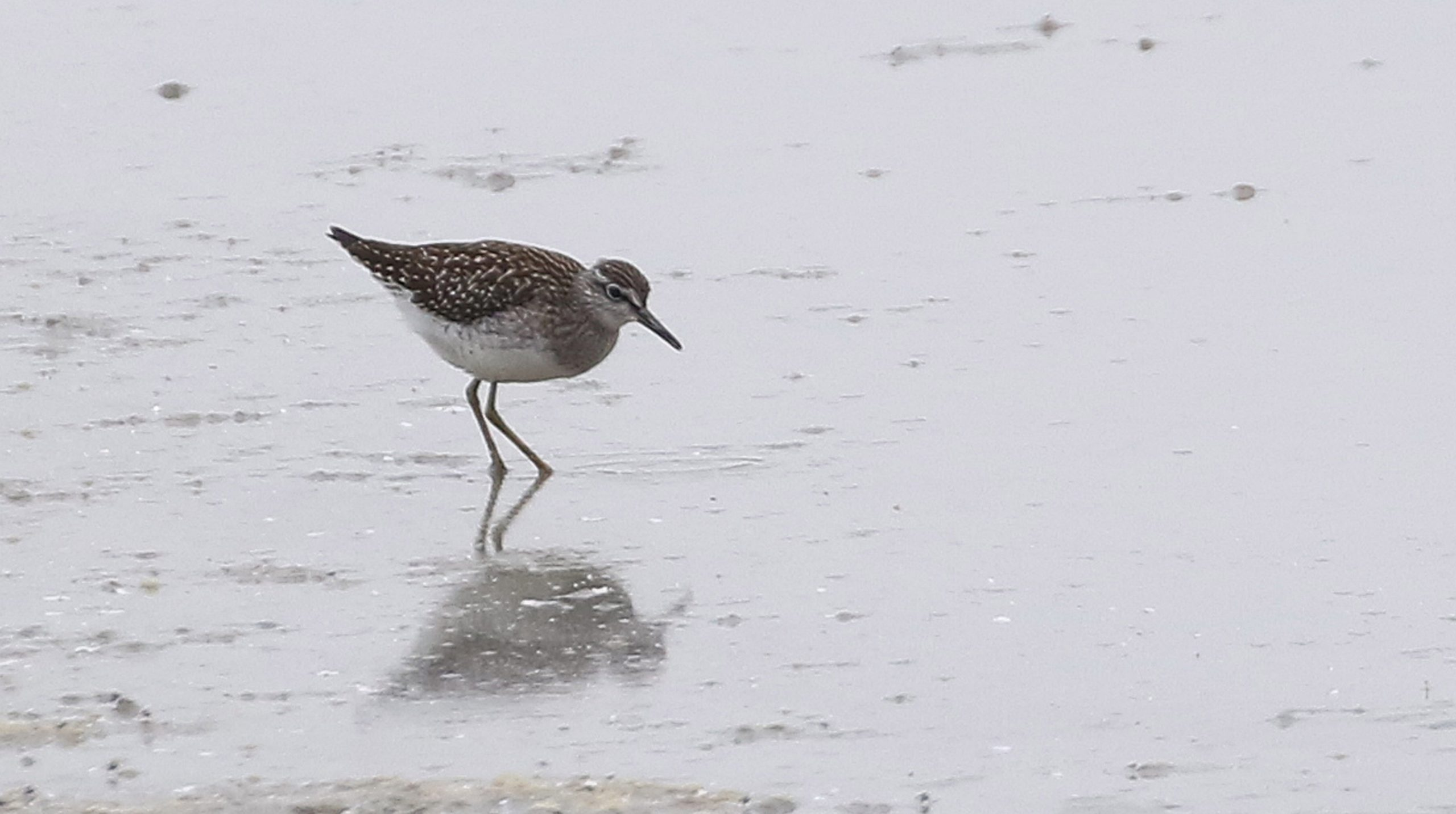 Wood Sandpiper - Titchfield Haven 24th July Chris Rose (2)