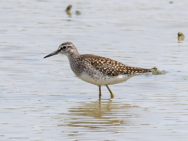 Wood Sandpiper by Gareth Rees - 26th July, Titchfield Haven