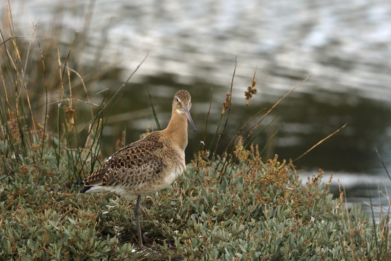 Black-tailed Godwit by Richard Jacobs - August 28th, Pennington Marshes