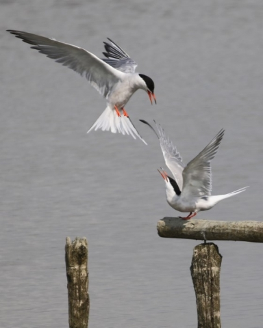 Common Tern - C Rose Titchfield Have 21st August
