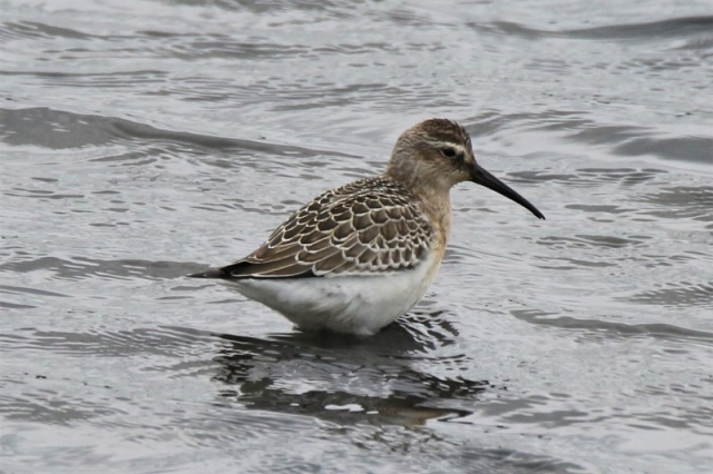 Curlew Sandpiper Normandy 30th Aug Andy Tew