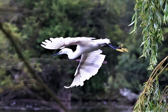 Egret by Brian Cartwright 23rd Aug Anton Lake