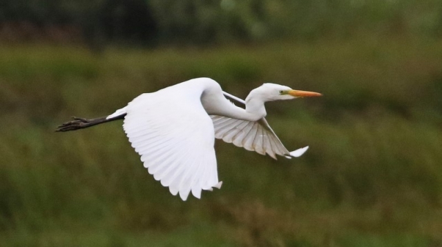 Great Egret - C Rose Jetty Lagoon 14th August (2)