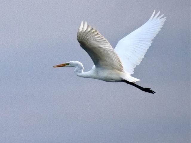 Great White Egret by Rob Porter-Aug 9th, Pennington Marsh
