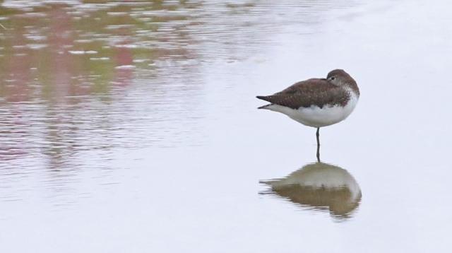 Green Sandpiper - C Rose Titchfield Haven 21st August