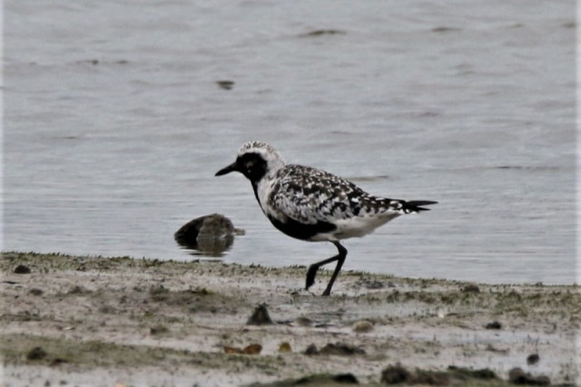 Grey Plover Normandy30th Aug Andy Tew