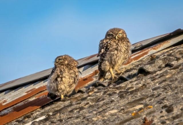 Juv. Little Owls @ Stubbington 12Aug21 by Steve Payce