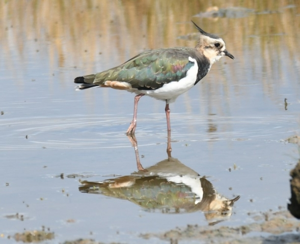Lapwing by Dave Levy ,Keyhaven 22.08.21