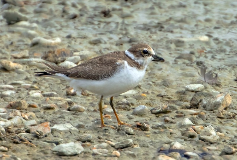 Little Ringed Plover @ Titchfield Haven 16Aug21 by Steve Payce