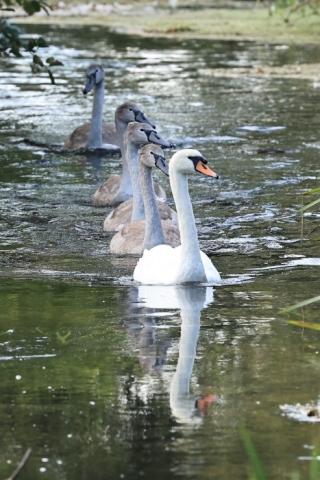 Mute Swan by Brian Cartwright 29th Aug Anton Lake