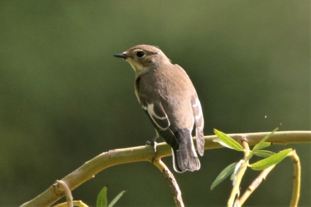 Pied Flycatcher Hayling I. 24th Aug Andy Tew.