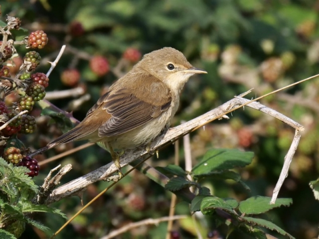 Reed Warbler-Aug 19th, Pennington Marsh