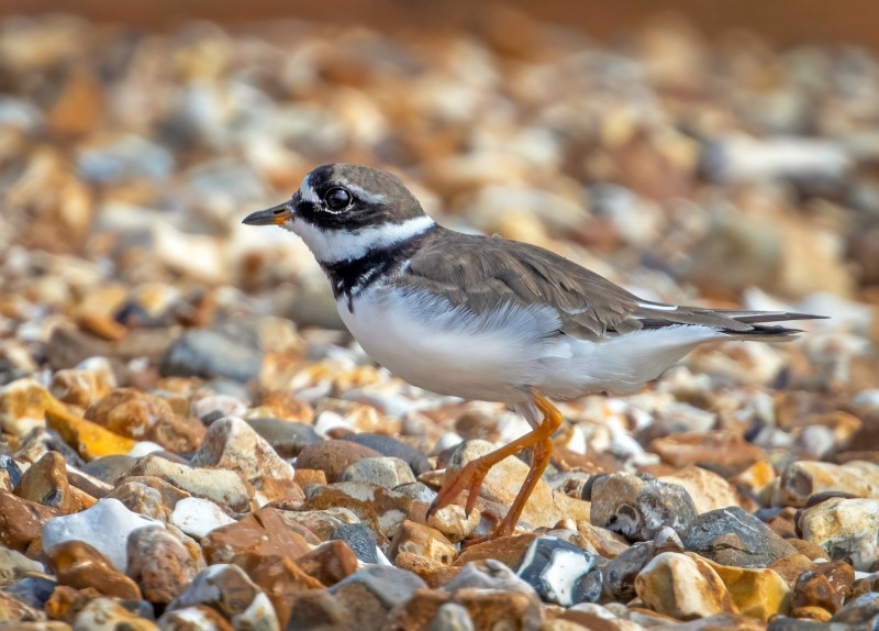 Ringed Plover @Titchfield Haven 25Aug21 by Steve Payce