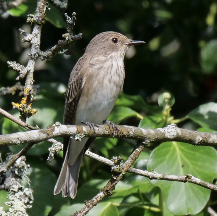 Spotted Flycatcher by Rob Porter-Aug 26th, Southampton Old Cemetery
