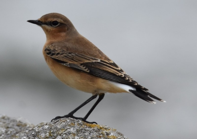 Wheatear by Peter Hyde - September 1st , Hamble Point
