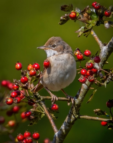 Whitethroat @Cheesefoot Head 26Aug21 by Steve Payce