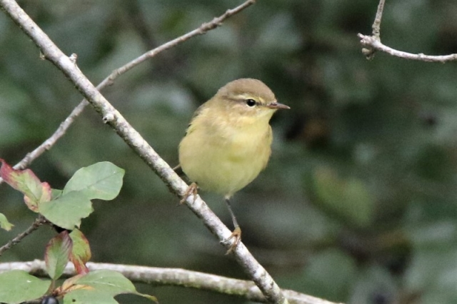 Willow Warbler Baddesley Common 23rd Aug Andy Tew.