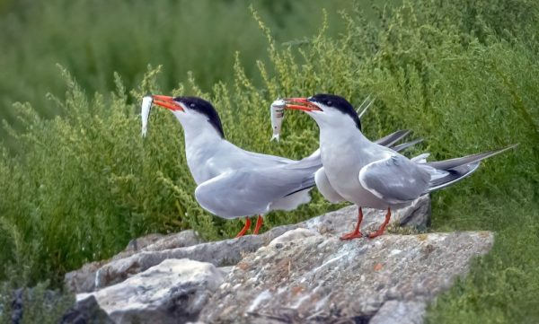 Common Terns @Oyster Beds 20Aug21 by Steve Payce